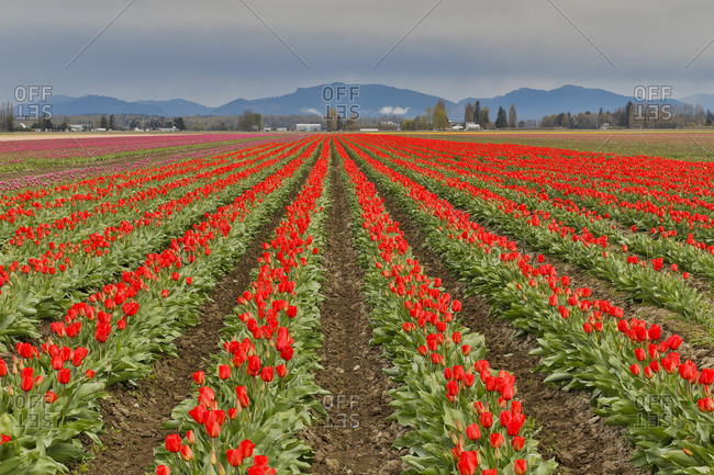 Tulip growing in springtime, blooming in Skagit Valley, Washington State.
