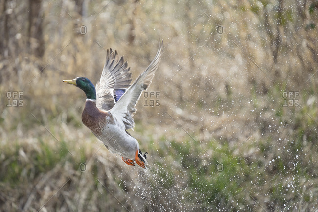 USA, Washington State. Male Mallard (Anas platyrhynchos) takes flight from Lake Washington. Kirkland.