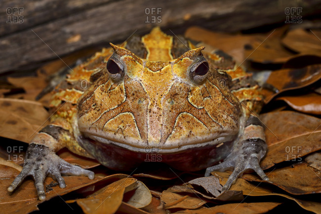 South American horned frog sitting on leaves