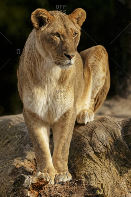 Female Lioness, Panthera leo, perched and alert