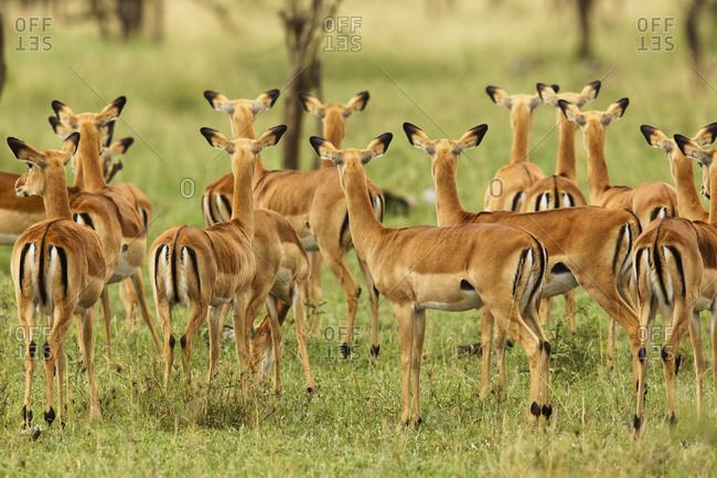 Herd of female Impala, Serengeti National Park, Tanzania, Africa.