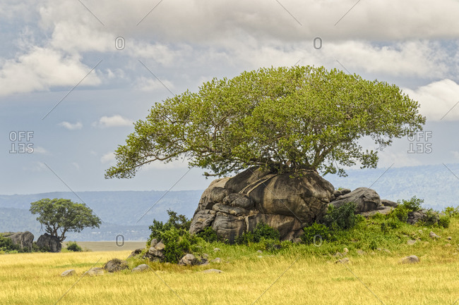 Kopje and fig tree, Serengeti National Park, Tanzania, Africa.