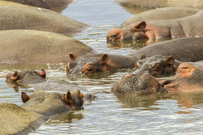 Africa, Tanzania, Serengeti National Park. Close-up of hippos in water.
