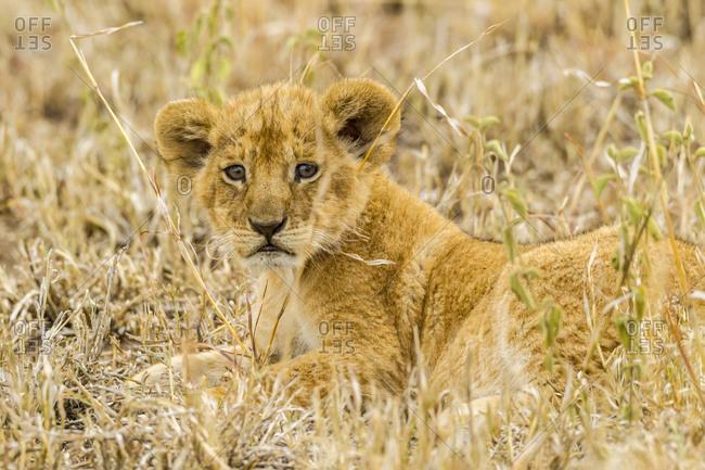 Africa, Tanzania, Serengeti National Park. African lion cub close-up.
