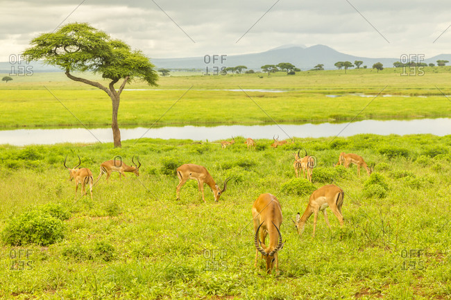 Africa, Tanzania, Tarangire National Park. Impala herd in field.