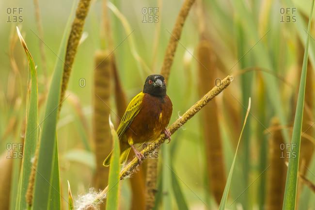 Africa, Tanzania, Lake Manyara National Park. Black-headed weaver bird.