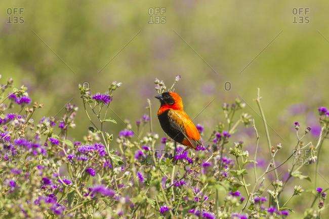 Africa, Tanzania, Ngorongoro Crater. Red bishop bird in flowers.