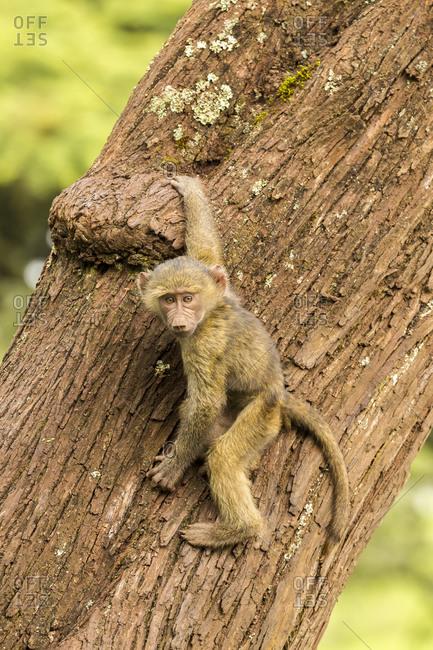 Africa, Tanzania, Ngorongoro Crater. Olive baboon baby on tree.