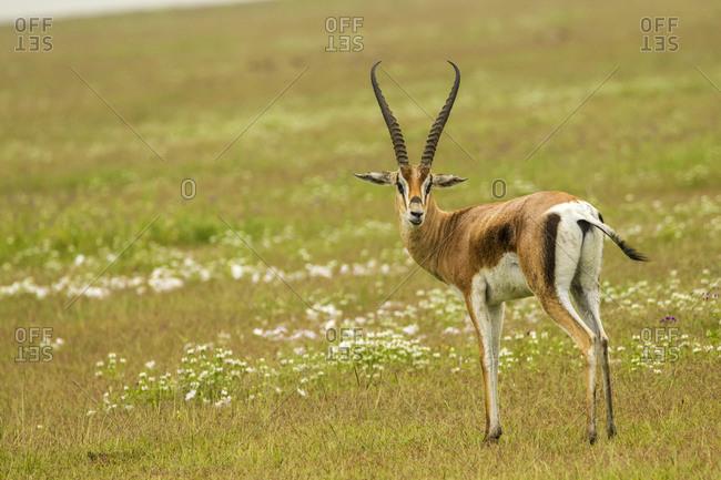 Africa, Tanzania, Ngorongoro Crater. Thomson's gazelle standing in field.