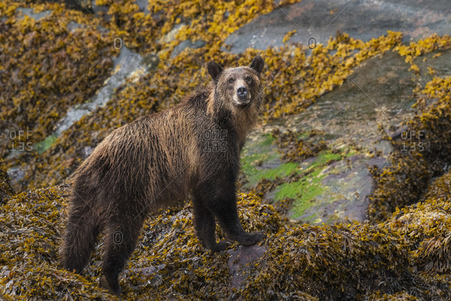Canada, British Columbia, Knight Inlet. Grizzly bear in the intertidal zone.
