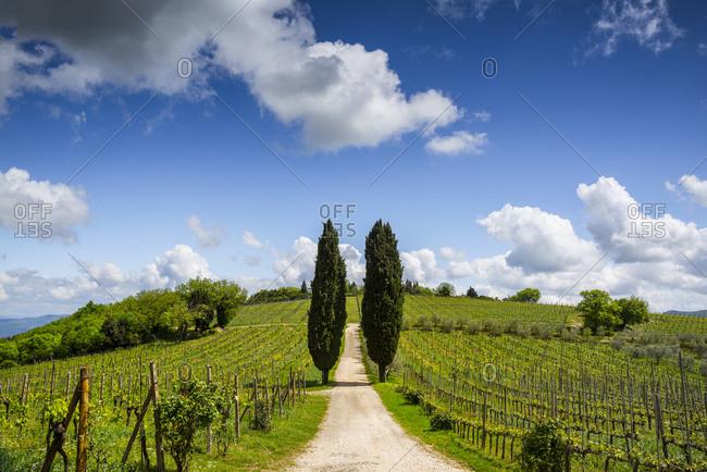 Europe, Italy, Tuscany, Chianti. Vineyard and cypress trees.