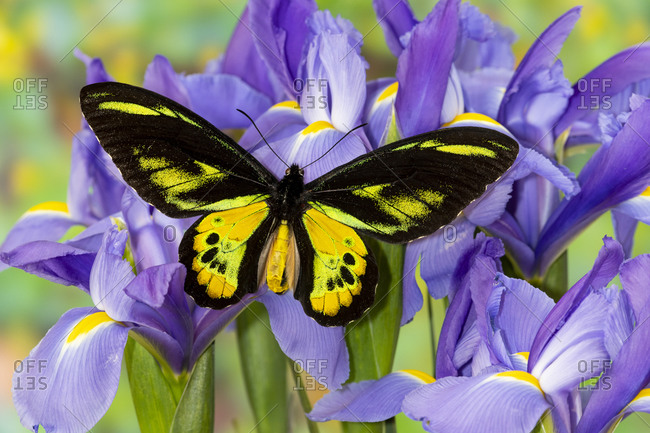 Tropical butterfly, Birdwing, male Ornithoptera rothschildi blue Dutch iris.