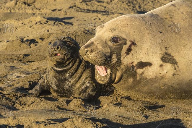 USA, California, San Luis Obispo County. Northern elephant seal female and pup.