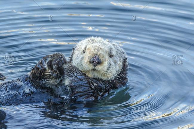 USA, California, San Luis Obispo County. Sea otter grooming.