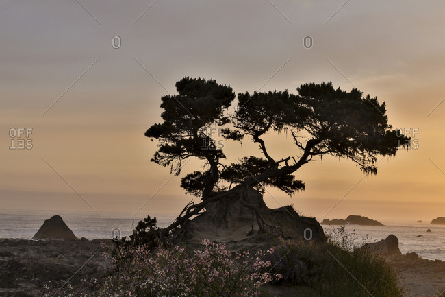 Cypress tree at sunset along the Northern California coastline, Crescent City, California