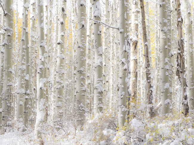 USA, Colorado, Keebler Pass, fresh snow on Aspens with Fall Colors.
