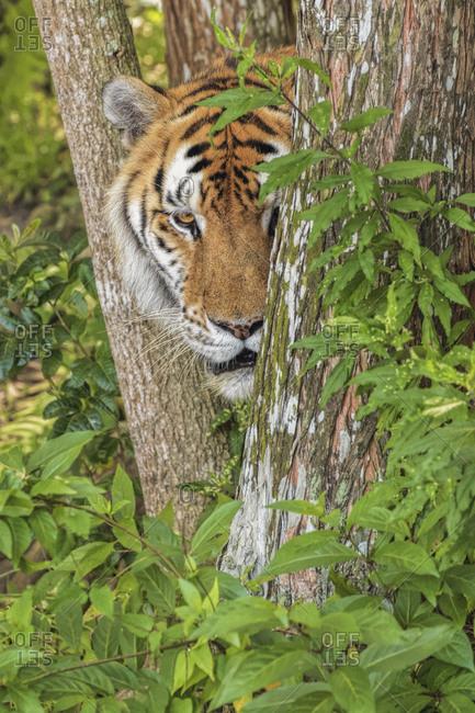 Tiger, Big Cat Rescue, Tampa, Florida.