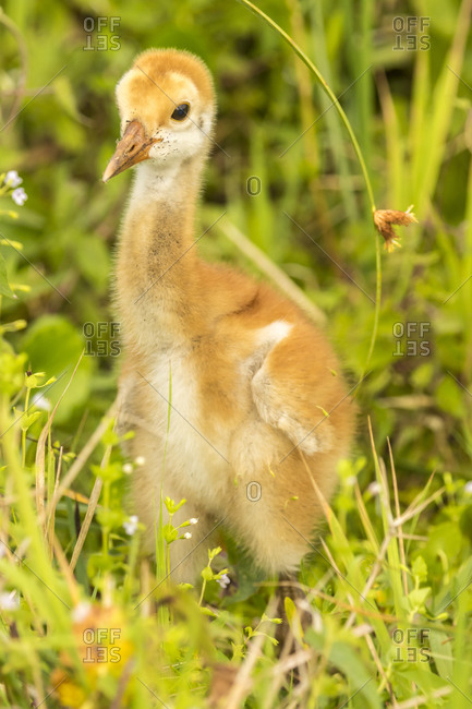 USA, Florida, Orlando Wetlands Park. Sandhill crane chick close-up.