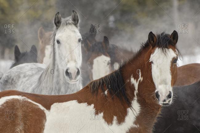 Rodeo horse portrait after running through snow, Kalispell, Montana.
