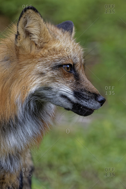 USA, Montana. Fox close-up in controlled environment.