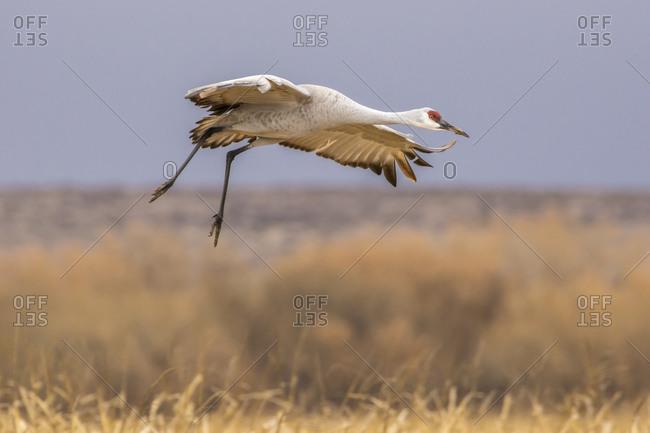 USA, New Mexico, Bosque del Apache National Wildlife Refuge. Sandhill crane landing.