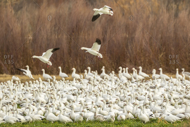USA, New Mexico, Bosque del Apache National Wildlife Refuge. Snow geese landing amid flock.