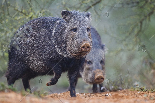 Collared peccary emerging from cover.