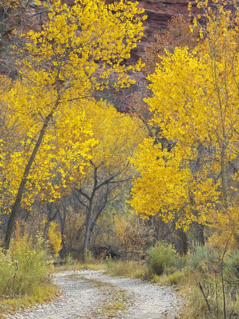 USA, Utah. Dixie National Forest, Golden Fremont Cottonwood trees, along hwy 12