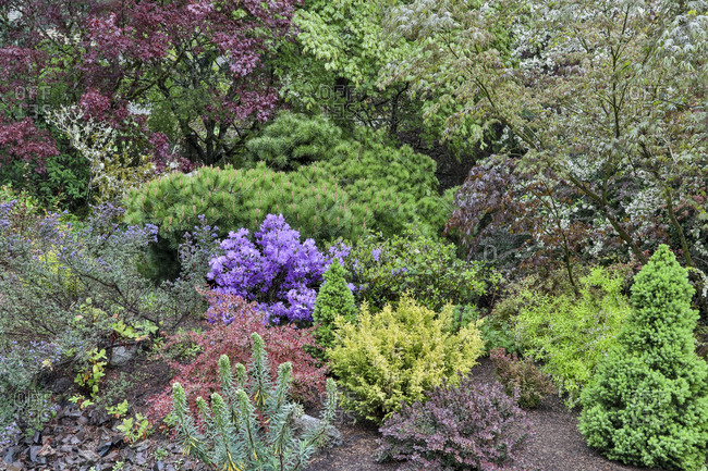 Spring color with deer proof shrubs and trees, Sammamish, Washington State.