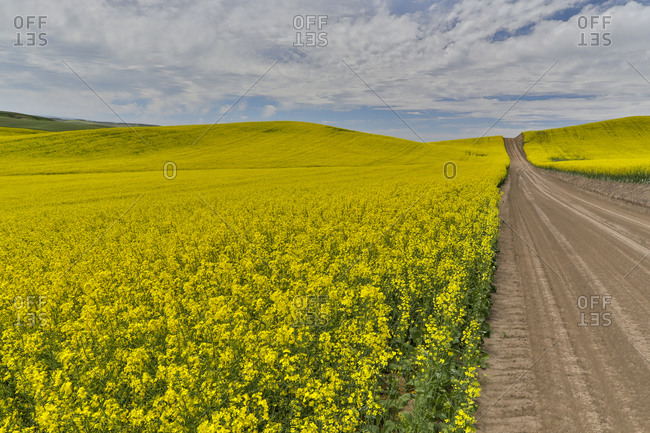 Dirt road through canola Fields in Eastern Washington, Palouse Country.