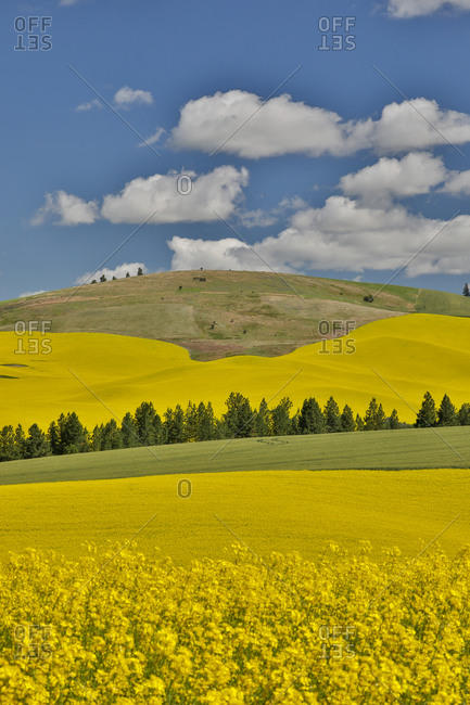 Canola fields with pine trees near Kamak Butte, Eastern Washington