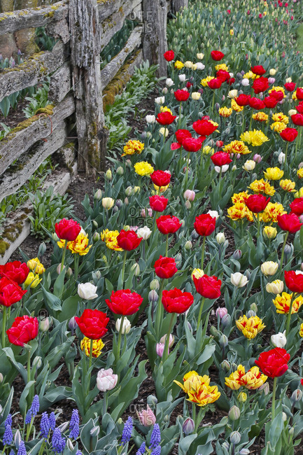 Spring tulip garden in full bloom along fence line, Skagit Valley, Washington State.