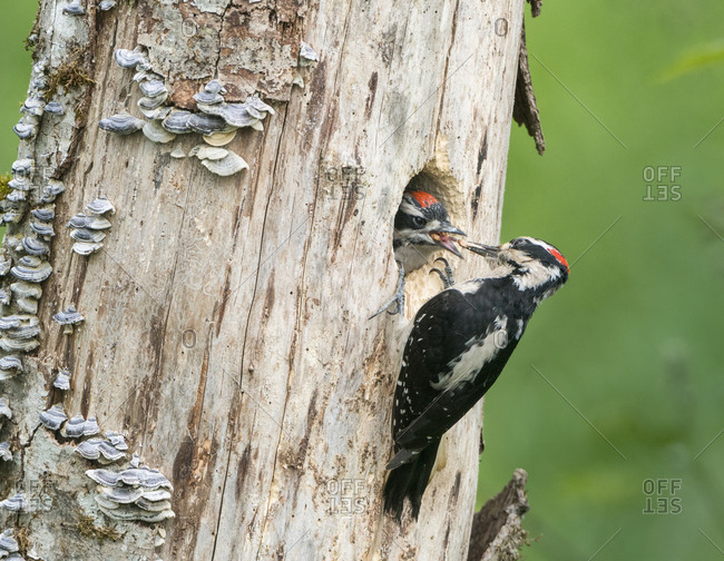 USA, Washington State. A male Hairy Woodpecker (Leuconotopicus villosus) at nest hole feeds a young chick. Snoqualmie Valley.