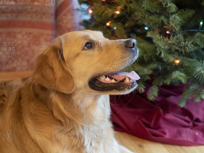 USA, Washington State, Bellevue, golden retriever dog near Christmas tree