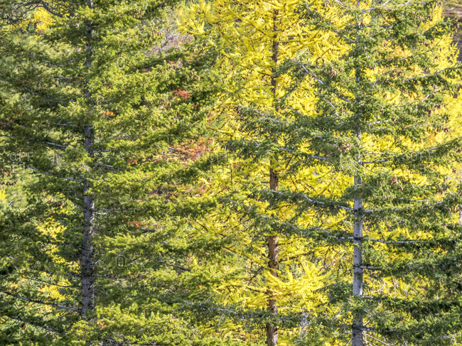USA, Washington State, Blewett Pass in autumn and Larch trees
