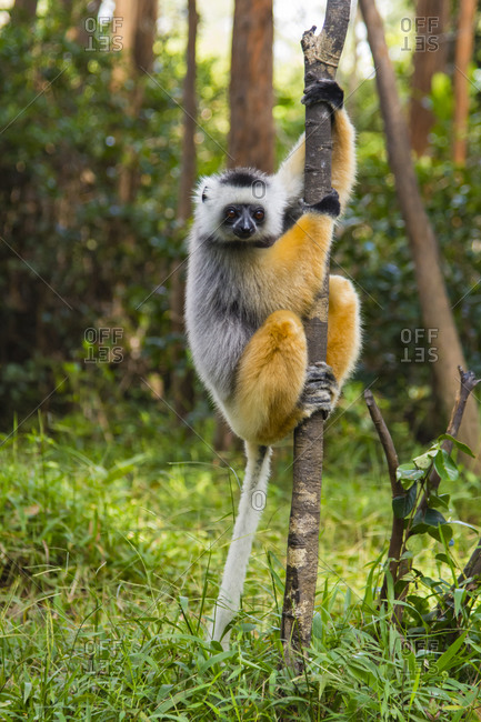 Madagascar, Andasibe, Vakona Lodge, Lemur Island. Diademed sifaka (Propithecus diadema) in a tree.