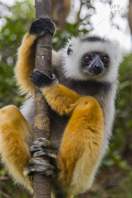 Madagascar, Andasibe, Vakona Lodge, Lemur Island. Diademed sifaka (Propithecus diadema) curiously looking at something.