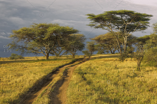 Rural dirt road through acacia forest in evening light, Serengeti National Park, Tanzania, Africa.