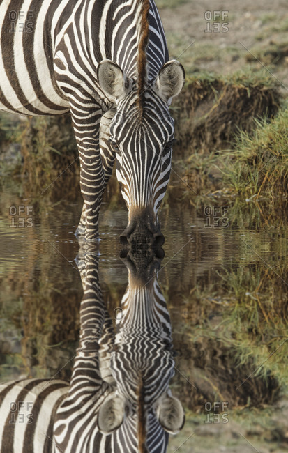 Burchell's Zebra drinking and reflection in pool of water, Serengeti National Park, Tanzania, Africa.