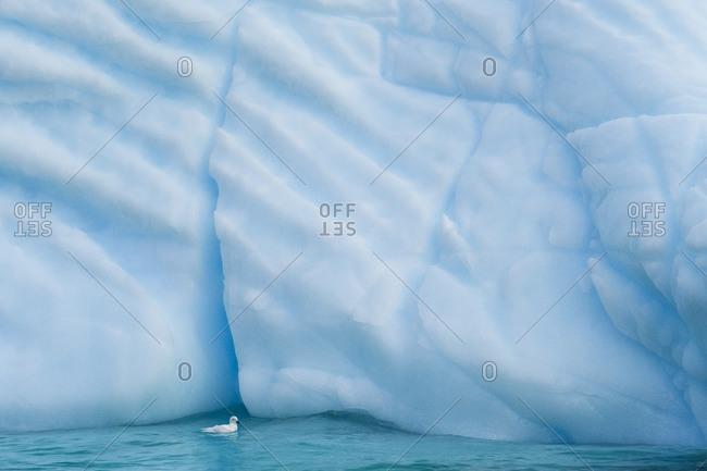 Antarctica, Antarctic Peninsula, Wilhelmina Bay with iceberg, glacial ice and snow petrel.