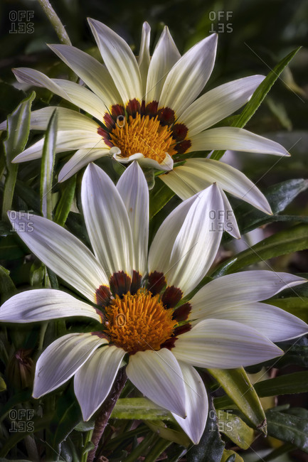 USA, Colorado, Ft. Collins. African daisies close-up.