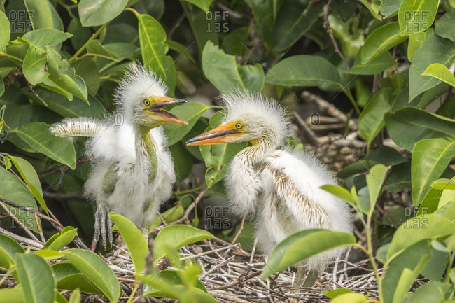 USA, Florida, Wakodahatchee Wetlands. Great egret chicks on nest.