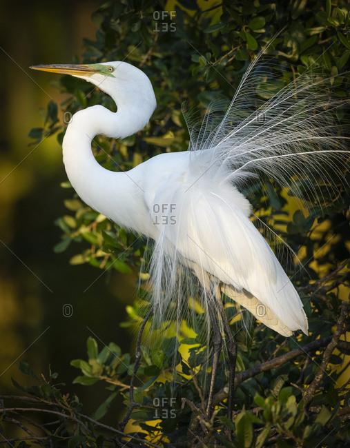 Great egret courtship, Florida, USA.