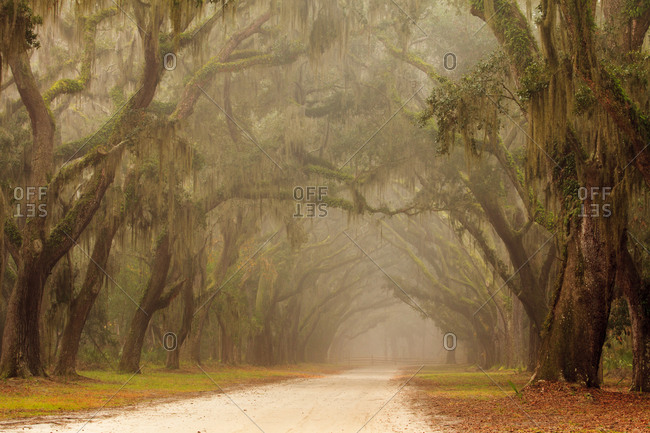 USA, Georgia, Savannah. Wormsloe Plantation Drive in the early morning fog.