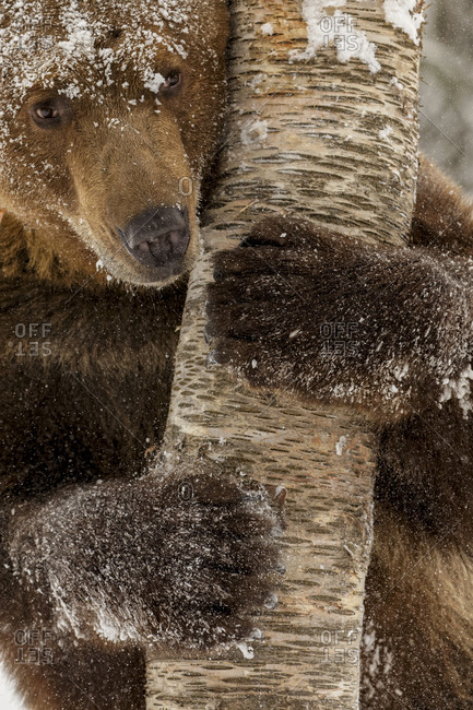 Grizzly bear in deep winter snow.