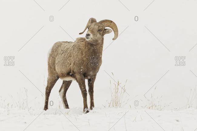 Bighorn Sheep in winter, Yellowstone National Park, Montana.