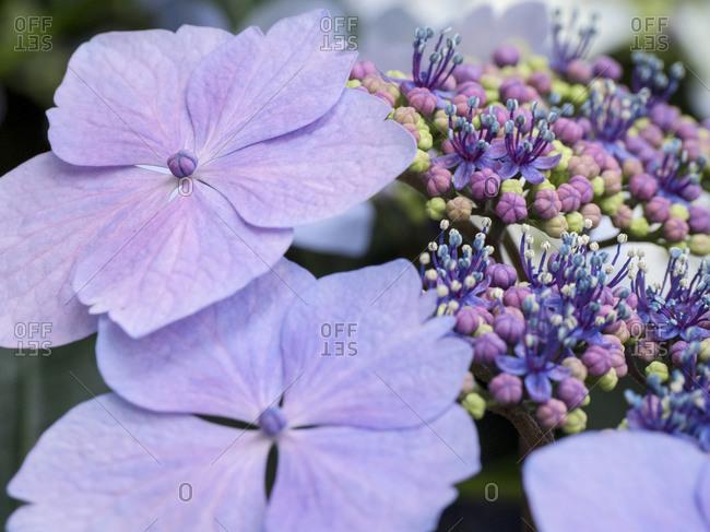 Close-up of a purple lacecap hydrangea.