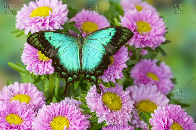 Asian tropical swallowtail butterfly Papilio larquinianus on pink flowering mums
