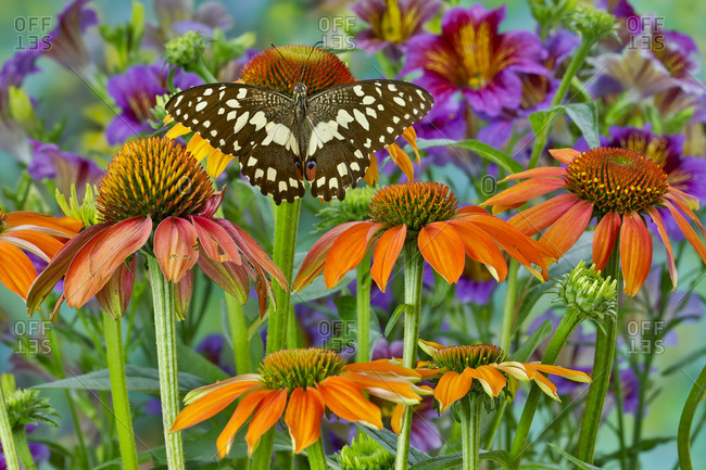 Orchard butterfly, Papilio demodocus on coneflower