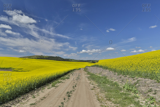 Gravel dirt road through canola field in Yellow Eastern Washington